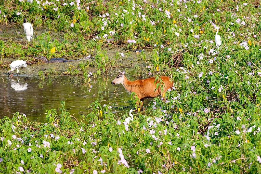 Marsh Deer Pant_06-08-15_0011_-545398465-O