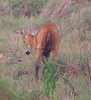 MarshDeer Pantanal_7I2B8564_10-1091948445-O