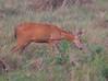 MarshDeer Pantanal_7I2B8574_10-1091949575-O