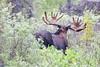 Moose (225)-557318596-O