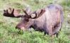Moose (204)-557318312-O