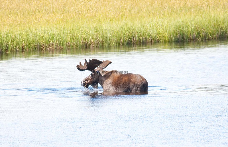 Moose (38)-557317957-O