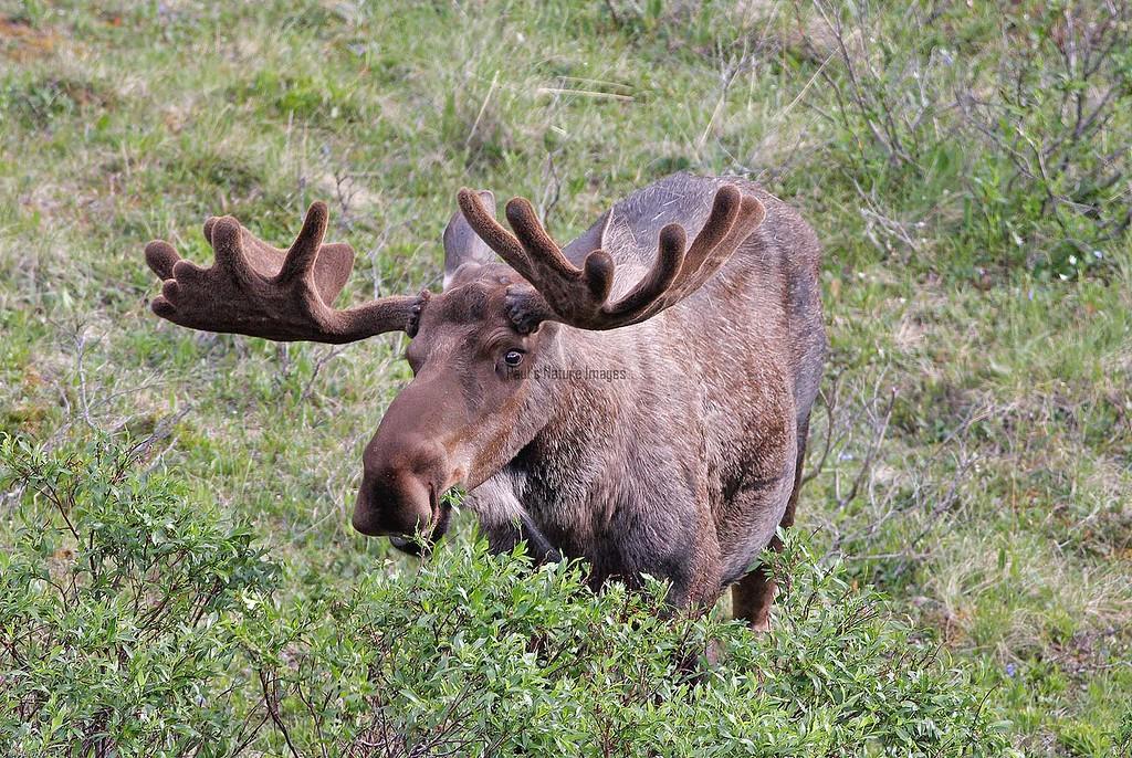 Moose-513576071-O
