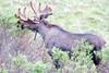 Moose (220)-557318490-O