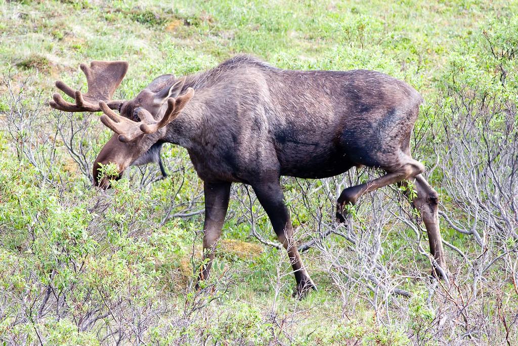 Moose (156)-557318178-O