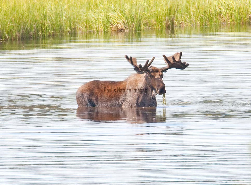 Moose (53)-557317995-O