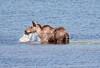 Moose (136)-557318055-O