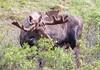 Moose (160)-557318276-O