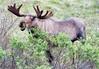Moose (213)-557318362-O