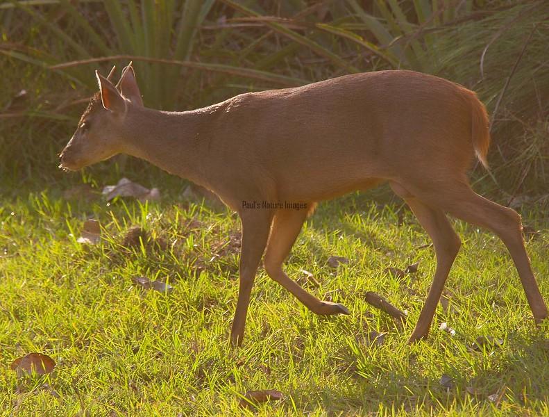 Brocket deer (1)_1_08-06-05_05-545379022-O