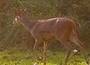 Brocket deer_9_08-06-05_050806-545379071-O