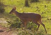 Brocket deer (6)_6_08-06-05_05-545379043-O
