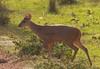 Brocket deer (6)_6_08-06-05_05-545379043-O