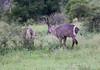 Waterbuck Kirkman_14-03-16__O6B2385