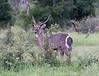Waterbuck Kirkman_14-03-16__O6B2386