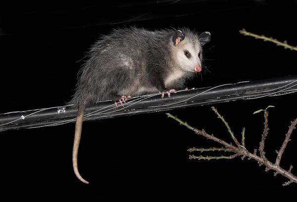 possum-1129704169-O