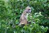 Baboon Chobe_14-03-08__O6B1573