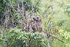 Baboon Chobe_14-03-08__O6B1584