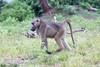 Baboon Chobe_14-03-08__O6B1403
