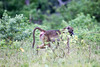 Baboon Chobe_14-03-08__O6B1408
