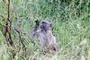 Baboon Kruger_14-03-02__O6B0643