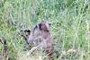 Baboon Kruger_14-03-02__O6B0645