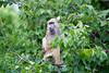 Baboon Chobe_14-03-08__O6B1575