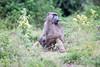 Baboon Chobe_14-03-08__O6B1396