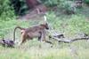 Baboon Chobe_14-03-08__O6B1409