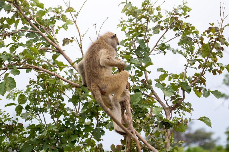 Baboon Chobe_14-03-08__O6B1578