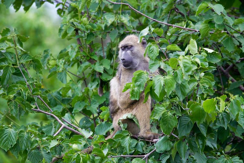 Baboon Chobe_14-03-08__O6B1574