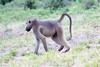 Baboon Chobe_14-03-08__O6B1406