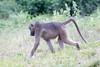 Baboon Chobe_14-03-08__O6B1404