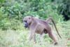 Baboon Chobe_14-03-08__O6B1401