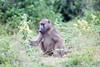 Baboon Chobe_14-03-08__O6B1400