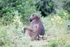 Baboon Chobe_14-03-08__O6B1393