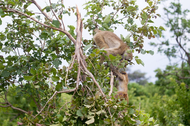 Baboon Chobe_14-03-08__O6B1580