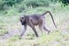 Baboon Chobe_14-03-08__O6B1405