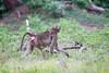 Baboon Chobe_14-03-08__O6B1410