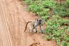 Baboon Chobe_14-03-08__O6B1582
