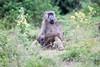 Baboon Chobe_14-03-08__O6B1397