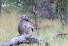 Baboon Kruger_14-03-02__O6B0662