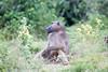 Baboon Chobe_14-03-08__O6B1399