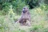 Baboon Chobe_14-03-08__O6B1398
