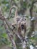HowlerMonkey Pantanal_7I2B8774-1087185324-O