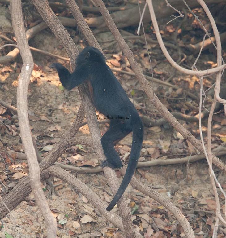 HowlerMonkey Pantanal_7I2B8812-1087185859-O