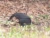 HowlerMonkey Pantanal_7I2B8808-1087185458-O