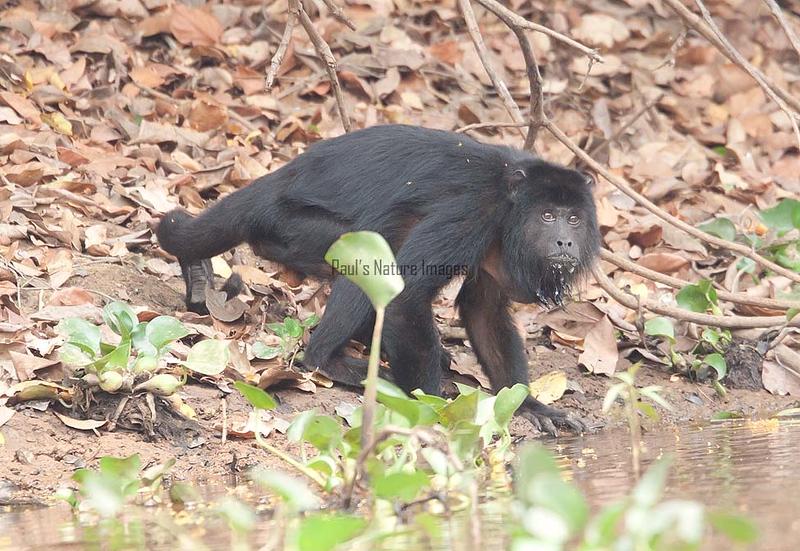 HowlerMonkey Pantanal_7I2B8809-1087185518-O