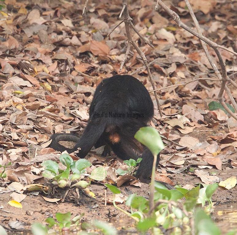 HowlerMonkey Pantanal_7I2B8810-1087185585-O