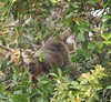 HowlerMonkey Pantanal_7I2B8813-1087185986-O